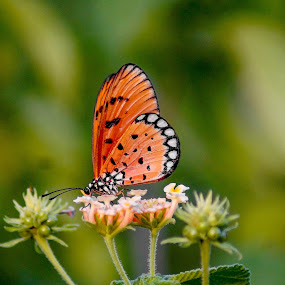 Tawny Coster by Faizan Hussain - Animals Insects & Spiders ( butterfly, nature, sipping, beautiful, nectar, wildlife, flowers )