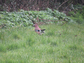 Photo: Priorslee Lake Jays are wary birds and rarely present photo opportunities so when I chanced upon one on the ground around the Priorslee estate I grabbed the chance (Ed Wilson)