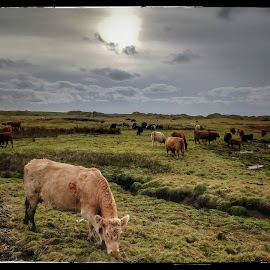 Munchers by Marie Leather - Animals Other ( cows, beach, river ccattle, herd )