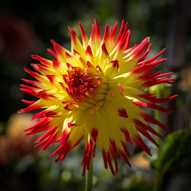 Beautiful and Bright by Janet Marsh - Flowers Single Flower ( red, yellow, dahlia,  )