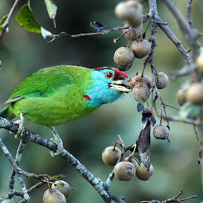 Blue Throated Barbet taking its breakfast  by Kisor Mukhopadhyay - Animals Birds ( drummer ad, suru nair, tapas chattopadhyay, mahuya mukhopadhyay, pabitra ghosh )