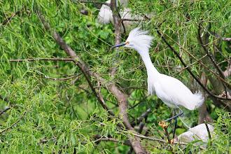 Photo: Snowy Egret