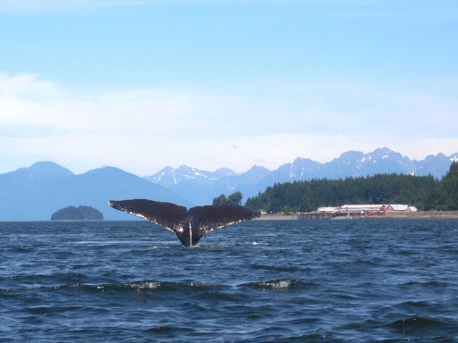 whale-tale-1.jpg - Whale watching near Icy Strait Point, Alaska.