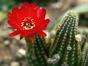 Photo: Tiny Red Cactus Flower, Close-up