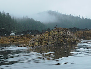 Photo: Oystercatchers on a barnacle covered rock.