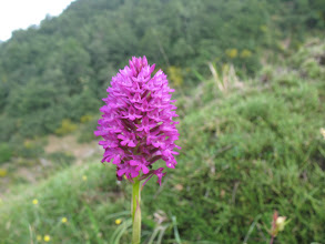 Photo: Orchis pyramidale