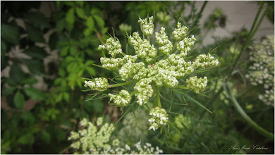 Photo: Morcov sălbatic (Daucus carota) - din Turda, Str. Salinelor - 2019.07.11