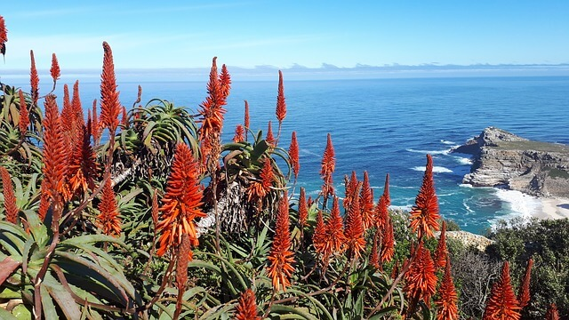 Stone Aloe (Petricola) with red and yellow flowers near the sea