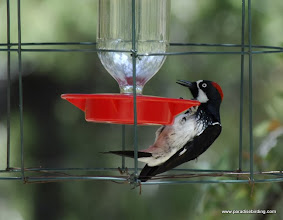 Photo: Adult female Acorn Woodpecker preparing to feed at a hummingbird feeder, Madera Canyon, Arizona