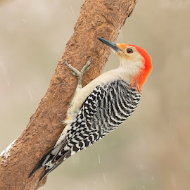by Kathy Jean - Animals Birds ( red-bellied woodpecker, bird, animal, woodpecker, red-bellied )