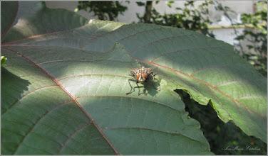 Photo: Pe o frunza de Ricin (Ricinus communis) - din Turda, Str. Rapsodiei - 2019.08.23