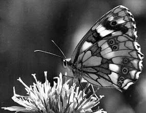 """Photo: Le """"demi-deuil"""" (Melanargia galathea) en contre-jour sur une centaurée jacée."""