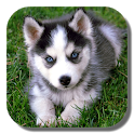 Husky Live Wallpaper icon