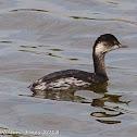 Black-necked Grebe; Zampullin Cuellinegro