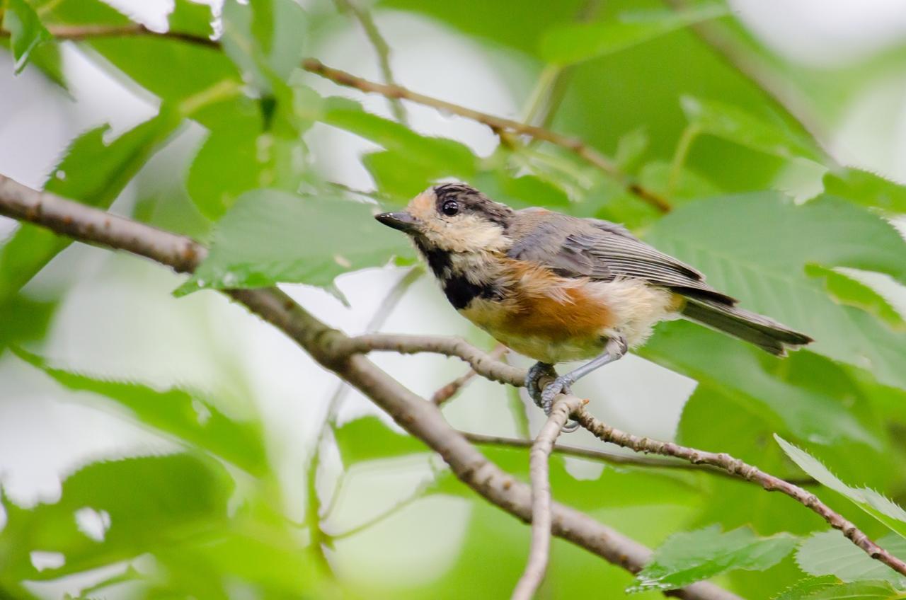 Photo: 早朝の見回り Patrol in the early morning.  Photo of Varied tit. 早朝の森、 ニ゛ーニ゛ー ニ゛ーニ゛ー と響いてくる小さな鳴き声、 枝を移ってはきょろきょろ 移ってはきょろきょろと 早朝の見回りをしているのか、 そのつぶらな瞳で しっかりと森の様子を チェックしているようでした。  (ヤマガラ) #birdphotography #birds #cooljapan #365cooljapanmay Nikon D7000 APO 50-500mm F4.5-6.3 DG OS HSM (2枚追加:Added 2 photo) [ Day92, August 12th ]  -------------------------------------------------- 【おしらせ】写真展を開催します。  「Google+三人写真展 2014 / The Three Men Emerge 2014」  会期: 8月22日[金]~31日[日] Open 11:00-19:00 会場: Island Gallery 東京都中央区京橋1-5-5 B1 tel / 03-3517-2125 ※入場無料 会期中無休 協賛: マルマン株式会社 Canson Infinity 詳細: http://islandgallery.jp/9987 --------------------------------------------------
