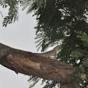 garden oriental Lizard