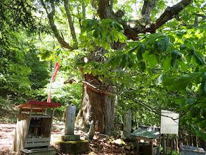 安住坊の栃の木