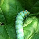 Robin Moth Caterpillar
