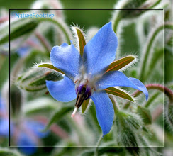 Photo: NF Macro #11 Gurkört - Borage - Starflower  http://nfmacro.blogspot.com/2010/11/nf-macro-11.html