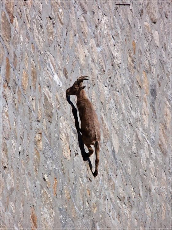 Íbex, a cabra escaladora de barragens