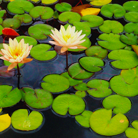 Pond by Edward Gold - Digital Art Things ( artistic objects, digital photography, pond, pink lily, green leaves, lillies, yellow, digital art,  )