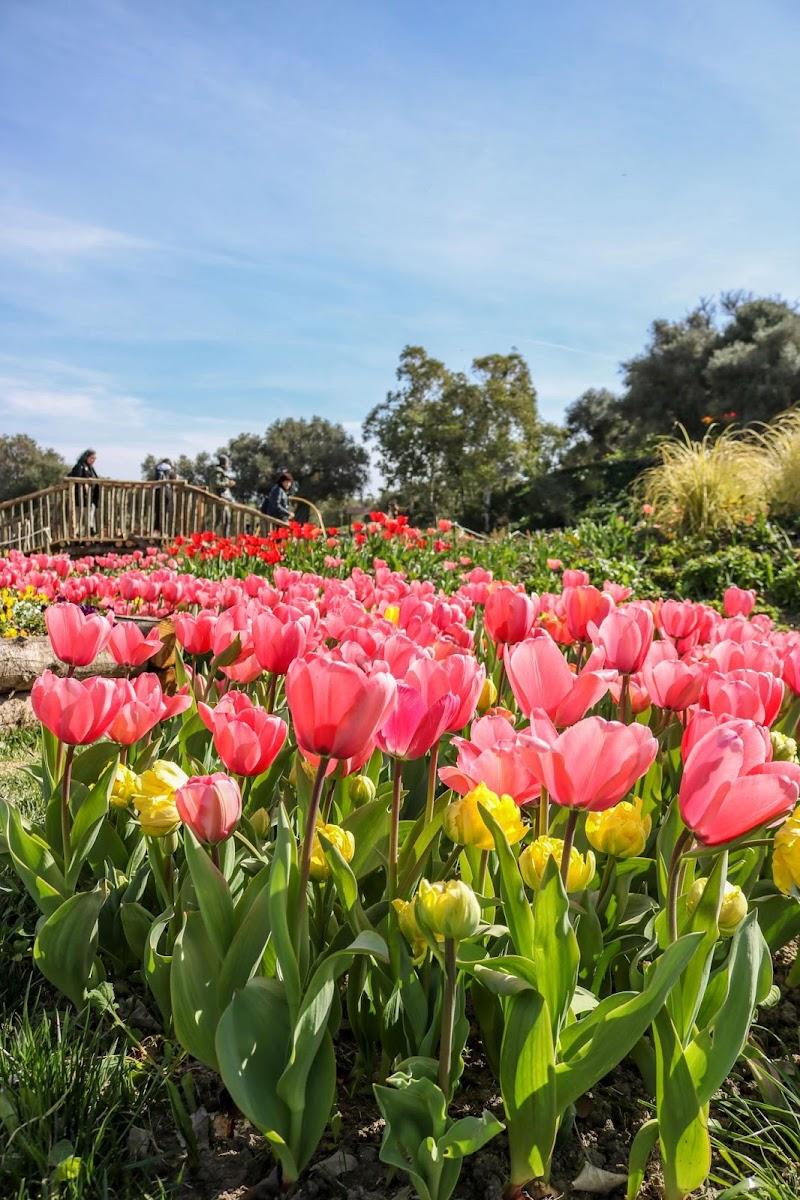 Tulipani in Sardegna di Birbi94