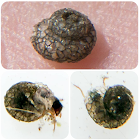 Larva de Tricóptero