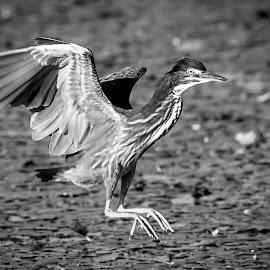 Green Heron by Debbie Quick - Black & White Animals ( debbie quick, hweon, nature, hudson river, debs creative images, water, new york, waterfowl, outdoors, green heron, bird, animal, black and white, wild, hudson valley, wildlife )