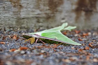 Photo: Luna moth at Emerald Lake State Park by Linda Carlsen-Sperry