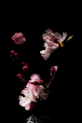 .. Cherry Blossoms ... di enricosottocorna
