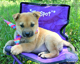 Photo: Vinny - gold/red GSD/Lab mix puppy for adoptioin.