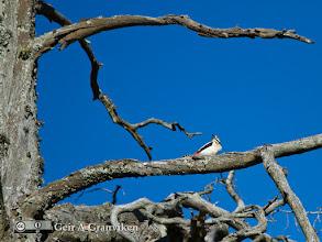 Photo: Woodpecker in a dead tree in Hyggen