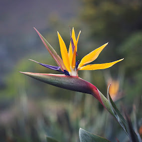 Flowering Strelitzia by Randall Langenhoven - Nature Up Close Flowers - 2011-2013