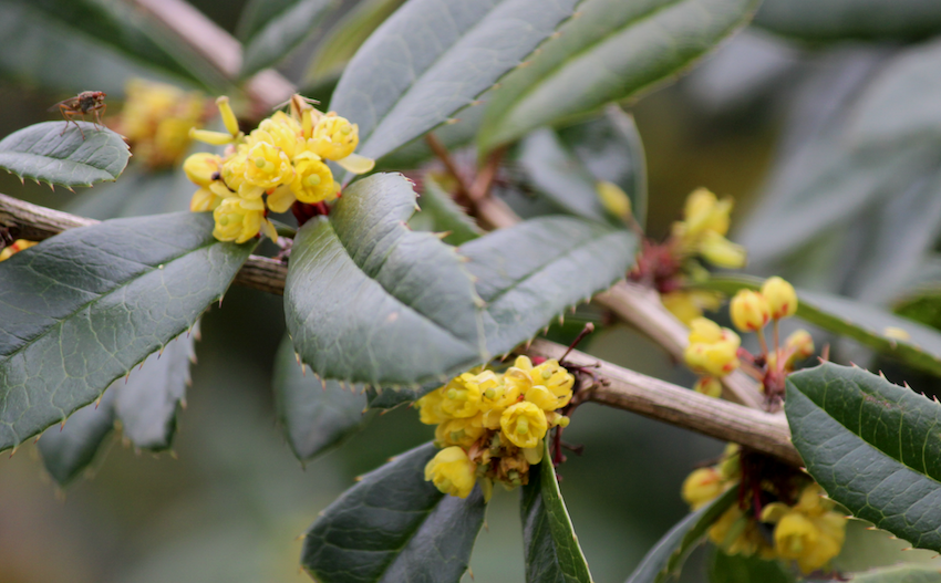 photo yellow-berberis_zpsjgtron31.png
