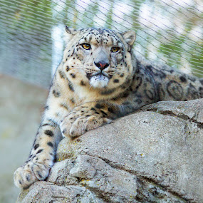Snow Leopard by April Brown - Animals Other ( cat, ;eopard, snow, rock, large, snow leopard )