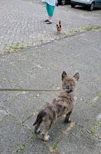 Photo: pup d.blauw (Mika) op pad aan een lijntje en dan niet eens mogen spelen met de andere hond...