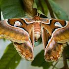 Philippine Atlas Moth