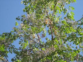 Photo: Hojas, flores y frutos de Melia