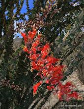 Photo: Ocotillo blossoms; Anza Borrego Desert State Park
