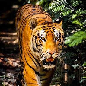 by Rolando Eduard - Animals Lions, Tigers & Big Cats