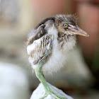 Pond Heron - Juvenile