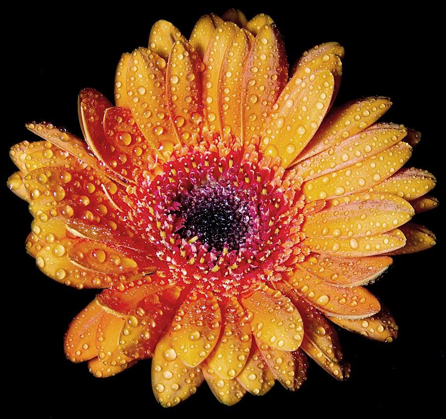 DAISY DEE - GERBERA by Michael Michael - Flowers Single Flower ( water drops, macro, single flower, gerbera daisy, daisies, daisy, gerbera, flower, water drop,  )