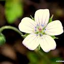 nepal geranium