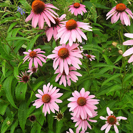 Coneflowers  in the garden by Mary Gallo - Flowers Flower Gardens ( pink, coneflowers, outdoor photography, nature up close, garden flowers, nature photography )