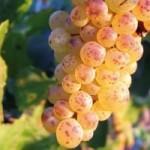 Картинки по запросу виноград гечеи заматош