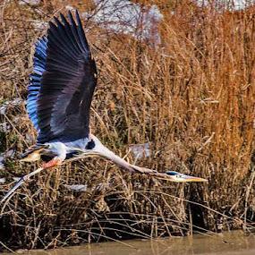 Heron Takes Flight by Terri Schaffer - Animals Birds