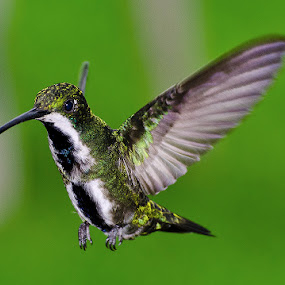 Landing Gear Deployed by Edison Pargass - Animals Birds ( green, hummingbird, trinidad, caribbean )