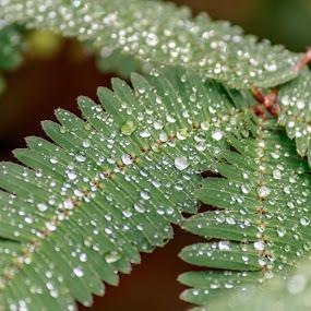 Shameplant leaf by Brijesh Meena - Nature Up Close Leaves & Grasses ( shameplant, drops, leaf, leaves, droplets )