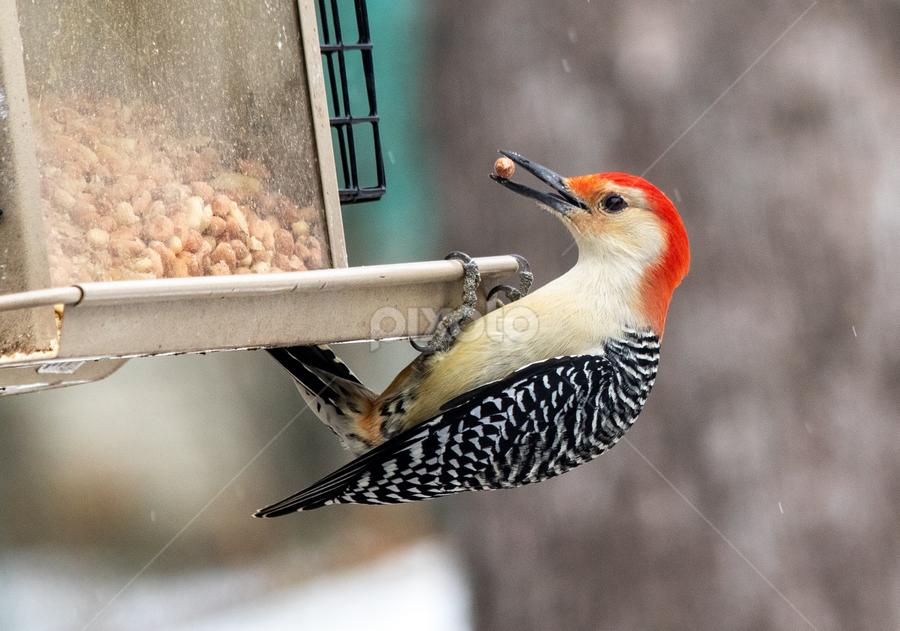 Woodpecker at the feeder by Rick Touhey - Animals Birds ( red, stripes, feeder, bird, tree, woodpecker )