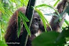 Indonesia. Borneo Kalimantan Orangutans. Young male hanging in bamboo trees a short distance from our lodge